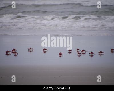 Red Ghost Crabs run through the surf in Cox's Bazar Beach - Stock Photo