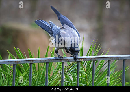 hooded crow Latin corvus cornix in the family corvidae perched on a railing in the centre of Rome near the Colosseum preening - Stock Photo