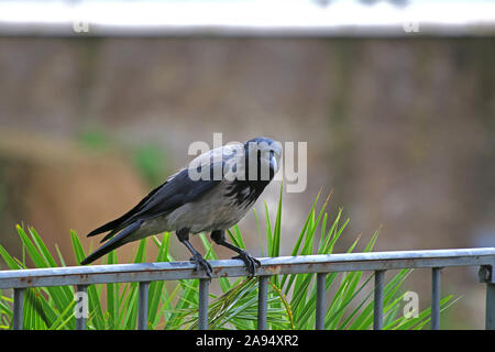 hooded crow Latin corvus cornix in the family corvidae perched on a railing in the centre of Rome near the Colosseum looking at the camera - Stock Photo