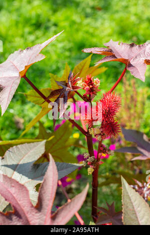 Ricinus communis of the Euphorbiaceae family bright red fruits and carved leaves. The seeds of the plant give Oleum Ricini. Ricinus is a fast-growing - Stock Photo