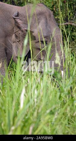 Elephant, Wildlife Jeep Safari, Kaudulla National Park, Sri Lanka - Stock Photo