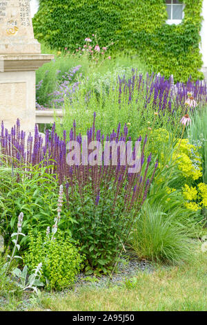 Steppen-Salbei (Salvia nemorosa 'Caradonna') - Stock Photo