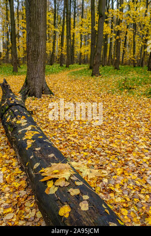 Bright yellow autumn leaves on an old rotten log in a forest glade among linden trees. The beauty of autumn nature - Stock Photo