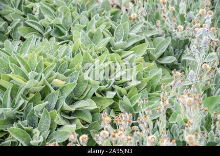 Woll-Ziest (Stachys byzantina 'Cotton Boll') - Stock Photo