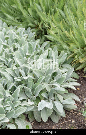 Teppich-Woll-Ziest (Stachys byzantina 'Silver Carpet') - Stock Photo