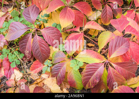 Autumn seasonal background with close-up of mix of natural leaves, both fallen and still growing, colored in bright yellow, green and wine colors. Lea - Stock Photo