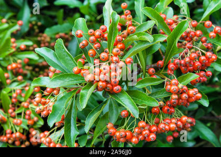 Firethorn plant close up - Stock Photo