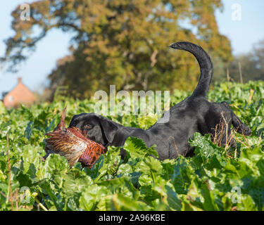 black labrador working on a pheasant shoot - Stock Photo