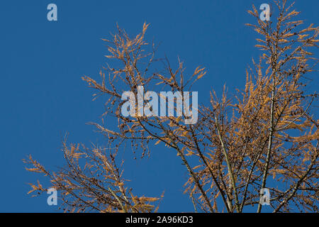 larch in winter, Larix decidua - Stock Photo