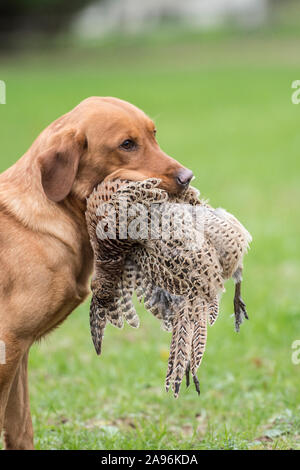 yellow labrador retriever dog carrying dead pheasant - Stock Photo