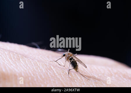 Macro of female mosquito on surface of human skin and black background. Virus, infectious disease and parasites. Stock Photo