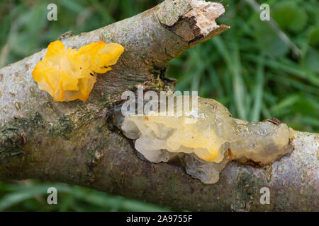 Witches butter fungus also called yellow brain fungus (Tremella mesenterica) on dead wood, UK - Stock Photo