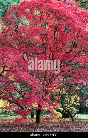 Acer Palmatum 'Atropurpureum'. Purple Japanese maple trees in autumn at Westonbirt Arboretum, Cotswolds, Gloucestershire, England - Stock Photo
