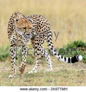 Cheetah on grassland in National park of Africa - Stock Photo