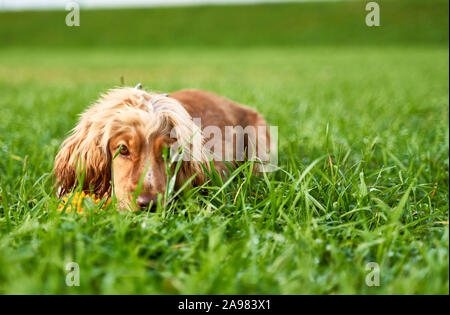Red-haired Spaniel lies on grass, calm dog. - Stock Photo