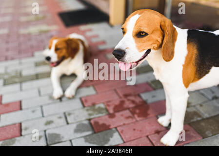 Epagneul Breton, Brittany Spaniel and Beagle dog. Two hounds resting in shade on cool bricked sidewalk next to a house. - Stock Photo