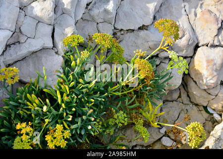 Samphire a flowering plant growing among the limestone rocks on foreshore of Adriatic sea, Croatia - Stock Photo
