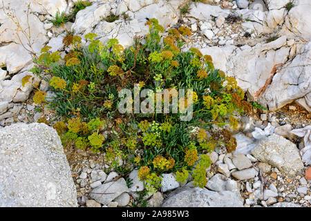 Samphire a flowering plant growing among the limestone rocks on foreshore of Adriatic sea, Croatia - Stock Photo