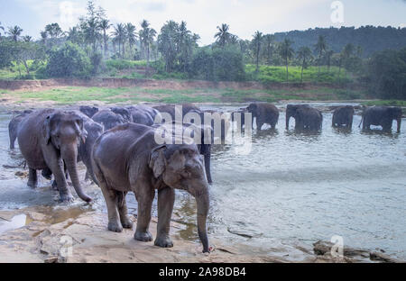 Pinnawala/ Sri Lanka: AUGUST 03- 2019: Asian elephants walking in a river near the village of Pinnawala. Here is a nursery for wild Asian elephants lo - Stock Photo