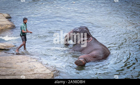 Pinnawala/ Sri Lanka: AUGUST 03- 2019: The Unspecific man taking bath with his elephant at a river near the village of Pinnawala. Here is a nursery fo - Stock Photo