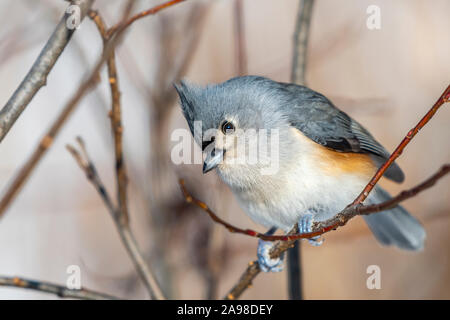 Tufted titmouse (Baeolophus bicolor) perched on a branch in winter. - Stock Photo