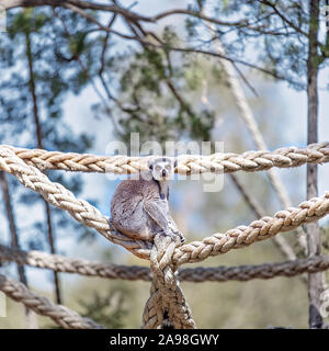 A cute ring tailed monkey playing on ropes in a zoo - Stock Photo