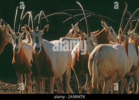 SCIMITAR-HORNED or SAHARA ORYX  Oryx dammah group Captive animals Marwell Zoo, Hampshire, England - Stock Photo