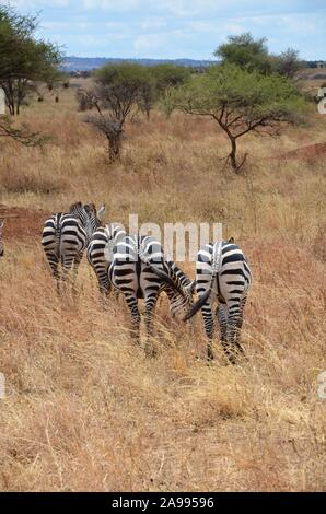 Small herd of African zebras grazing on a sunny day in Tanzania. - Stock Photo