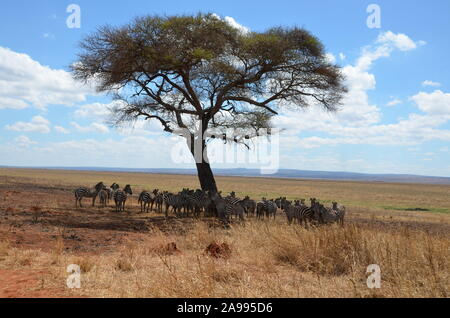 Herd of African zebras standing in the shade of a large tree in Tanzania. - Stock Photo