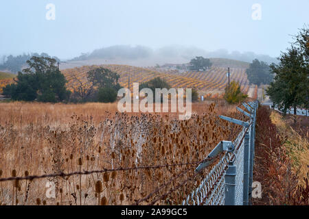Brown teasels and dry grass in an overgrown field next to a chain link fence, and vineyards on the hills on a foggy morning in Santa Rosa, California. - Stock Photo