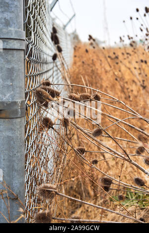 Brown teasels and dry grass in an overgrown field push against a metal chainlink fence on a foggy morning in Santa Rosa, California. - Stock Photo