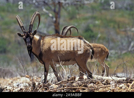 Wild Goat (Capra aegagrus). This species is believed to be the ancestor of the domestic goat - Stock Photo