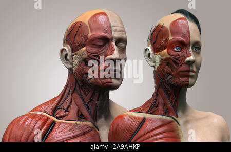 Human body anatomy of the male and female background , muscle anatomy structure of the face neck chest and shoulder ,realistic 3D rendering wallpaper - Stock Photo