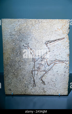 Well preserved Fossil of a Pterodactylus kochi. Pterosaurs are flying reptiles that existed at the same time as the dinosaurs. This one is a pterodact - Stock Photo