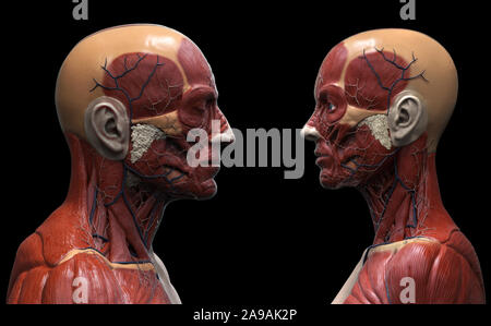 Human body anatomy background of a male and female - muscle anatomy of the face neck and shoulder , medical image reference of human anatomy - Stock Photo