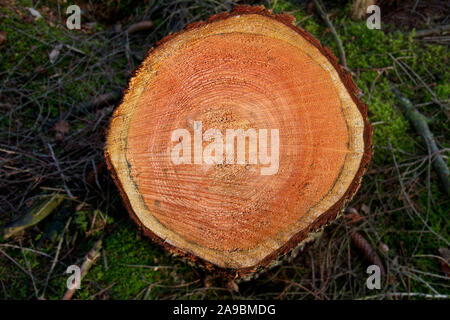 Annual rings in the trunk of a Larch tree - Stock Photo