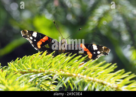 Red Admiral butterfly (Vanessa atalanta) perched on conifer tree. Tipperary, Ireland - Stock Photo
