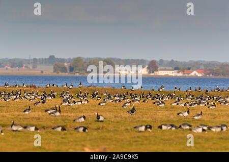 Weisswangengans, Nonnengans, Barnacle Goose, Branta leucopsis, Bernache nonnette, Barnacla Cariblanca - Stock Photo