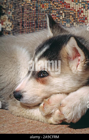SIBERIAN HUSKY 8 week old puppy.  (Canis lupus familiaris). - Stock Photo