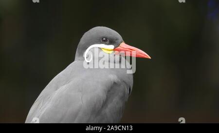 close up shot of an inca tern - Stock Photo