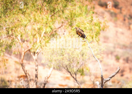 A wedge-tailed eagle sits in a tree at Alice Springs Desert Park, Australia - Stock Photo