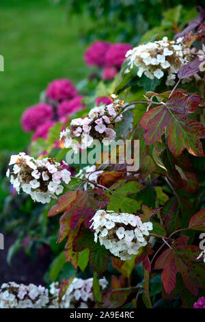 Hydrangea Quercifolia,Oak Leaf Hydrangea,leaves,foliage,flowers,shrub,shrubs,garden,gardens,RM Floral - Stock Photo