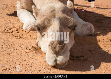 Dromedary from the front, head lies in the sand, close up, Erg Chebbi, Morocco - Stock Photo