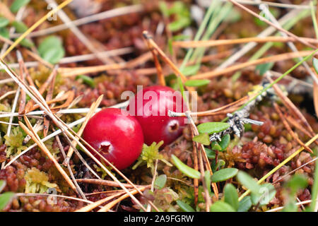 Two ripe red cranberries grow on the surface of swamp moss, close up - Stock Photo