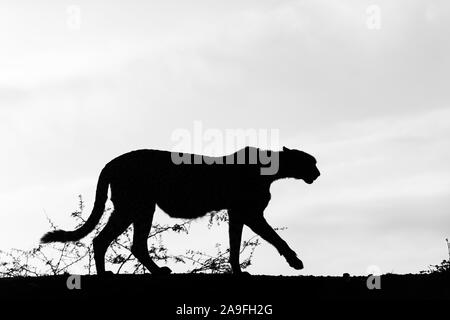 Cheetah (Acinonyx jubatus), Zimanga private game reserve, Kwaqulu-Natal, South Africa - Stock Photo