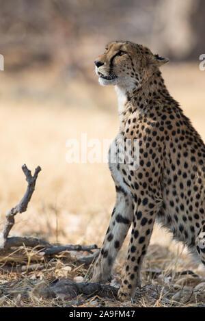 Beautiful cheetah (acinonyx jubatus) in morning light in Moremi NP (Khwai), Botswana - Stock Photo