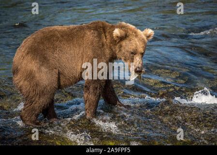 Brown Bear Catches Salmon in River in Katmai National Park, Alaska - Stock Photo
