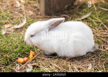 Cute white easter rabbit eating carrot outside - Stock Photo