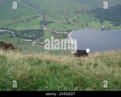 landscape view from the hills above coniston looking down towards Lake coniston below with a single white faced Herdwick sheep in the foreground - Stock Photo