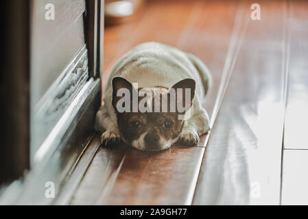 a cute chihuahua puppy face close-up - Stock Photo